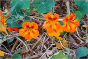 Essbare-Blüten - Ausgefallene Rezept Ideen